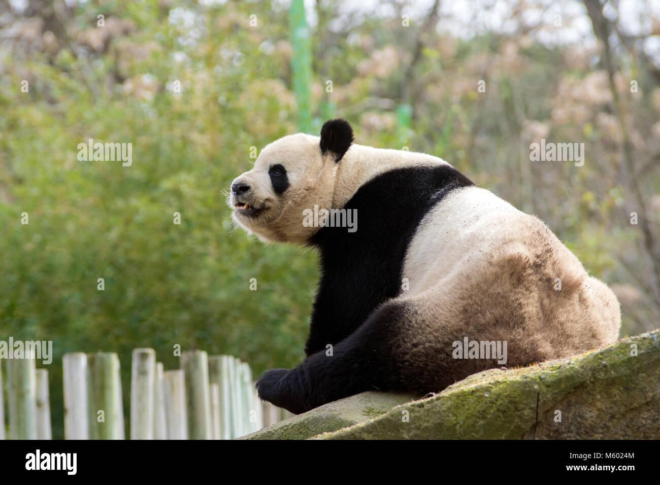 Panda géant homme curieux Photo Stock