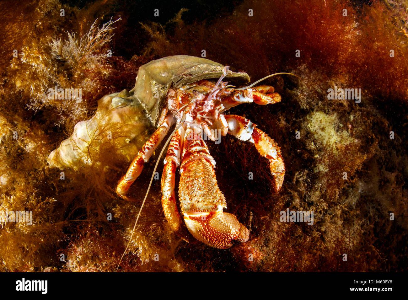 L'Ermite commun, Nord de l'océan Atlantique, l'Islande Photo Stock