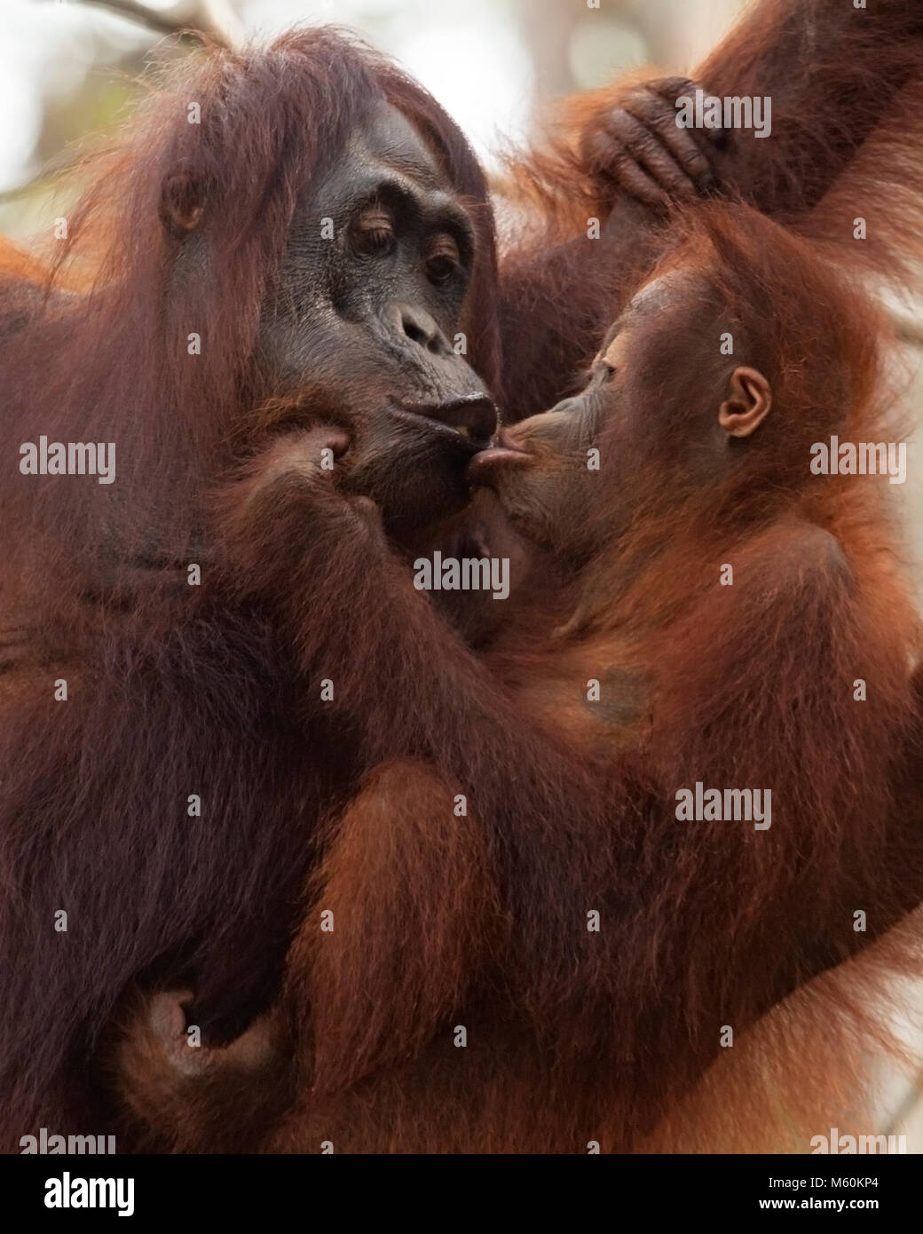 Mère embrassant bébé orang-outans sauvages (Pongo pygmaeus) à Tanjung Puting Parc National Banque D'Images