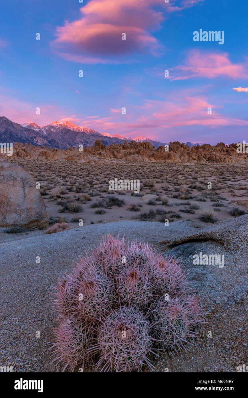 Le lever du soleil, Cactus Cottontop à quille, polycephalus, Alabama Hills, l'Est de la Sierra, Inyo National Photo Stock
