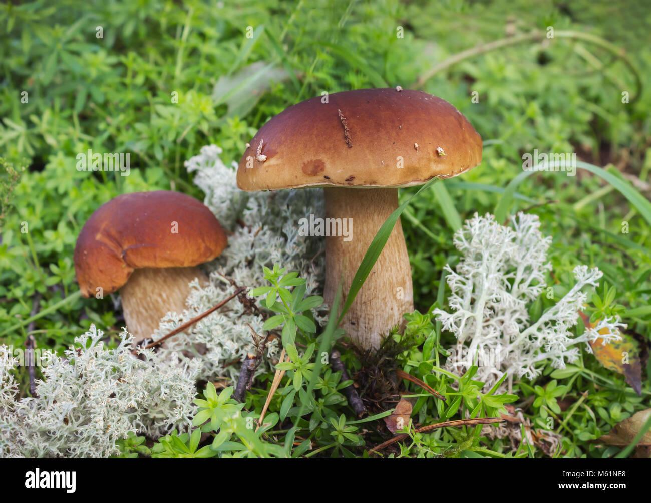 Champignons boletus deux sur la mousse dans la forêt en septembre Photo Stock