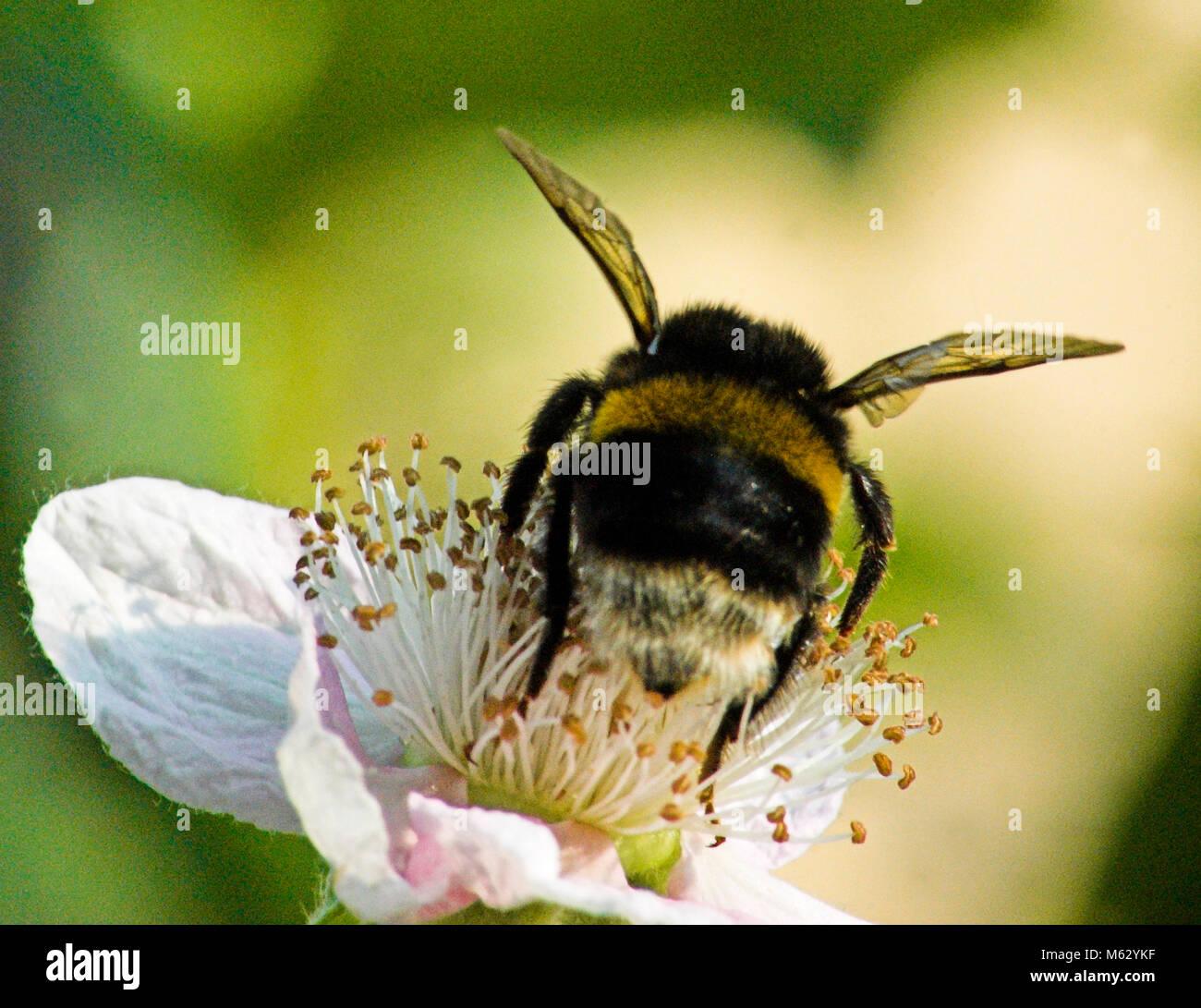 Bourdon sur une fleur Photo Stock