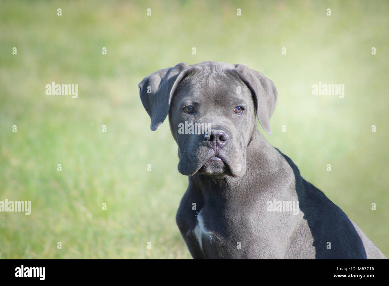 Un Chiot Mastiff Cane Corso Bleu à La Tendre Et Attentionné Tout En