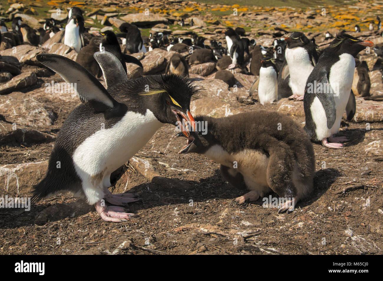 Rockhopper Penguin Photo Stock