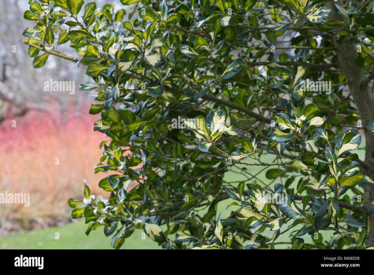 Ilex x altaclerensis 'Ripley Gold'. Holly 'Ripley Gold' feuillage en février. UK Photo Stock
