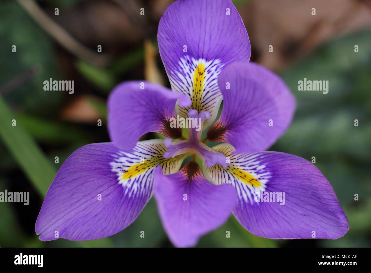 Les fleurs d\'Iris unguicularis (iris d\'Algérie), dans un jardin d ...