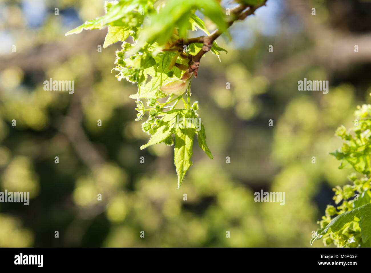 Miyabe, Miyabelönn d'érable (Acer miyabei) Photo Stock
