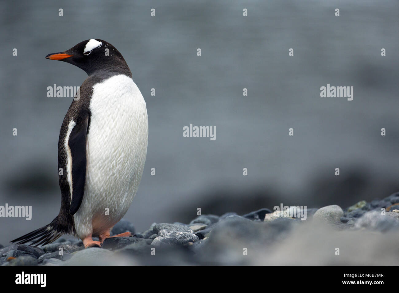 Gentoo pingouin (Pygoscelis papua) dans l'Antarctique Photo Stock