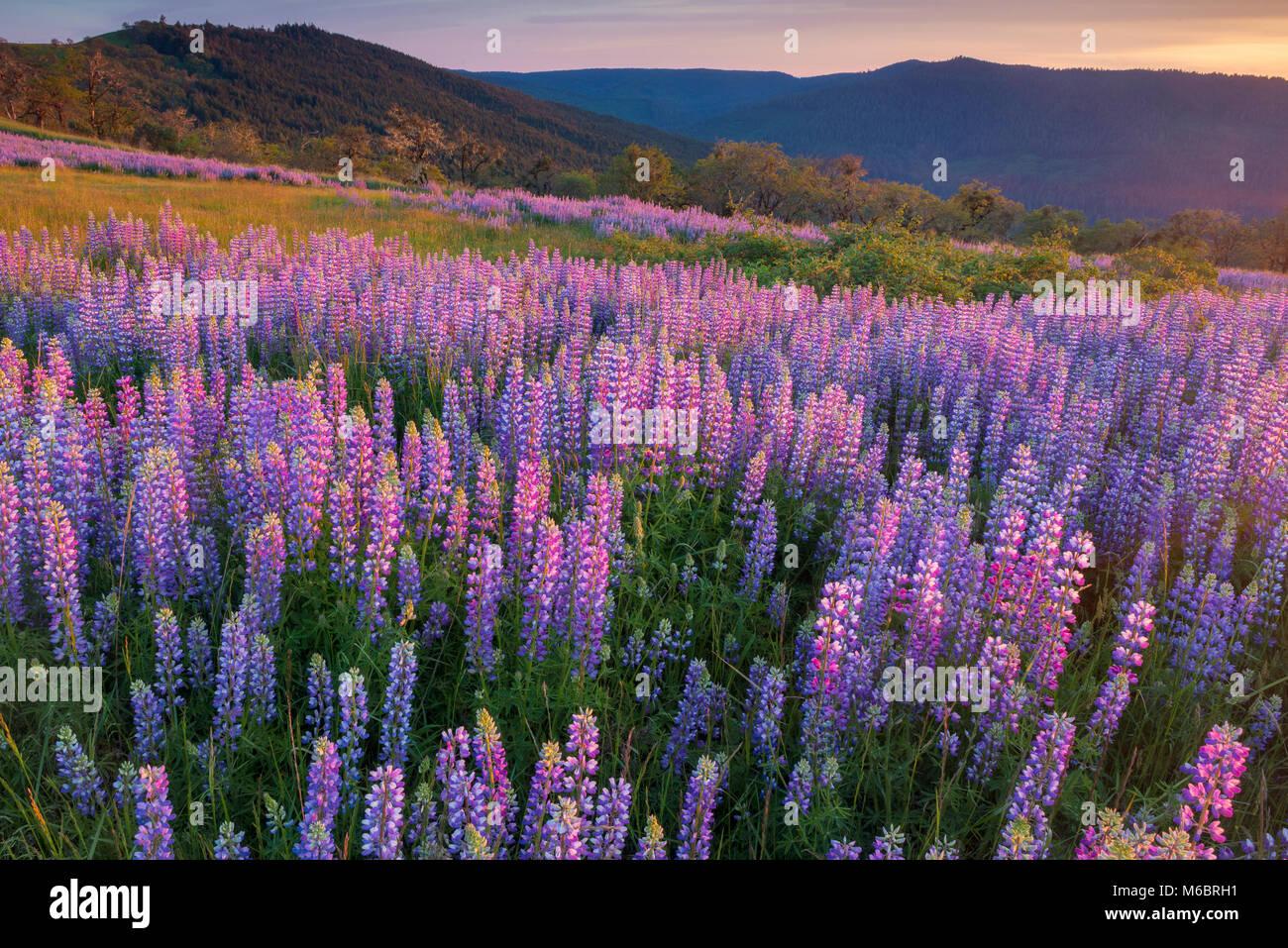 Lupin, Lupinus angustifolius, Childs Hill Prairie, Redwood National Park, Californie Photo Stock