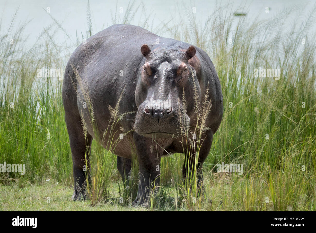 Hippopotame (Hippopotamus amphibius), 'Murchison's Falls National Park', l'Ouganda, l'Afrique Photo Stock