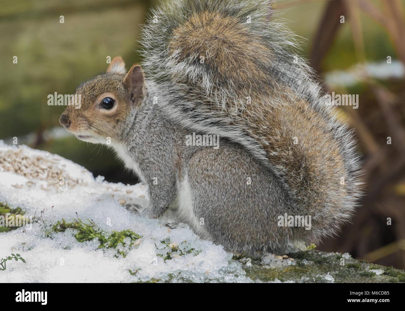 Un seul écureuil gris de l'UK Banque D'Images