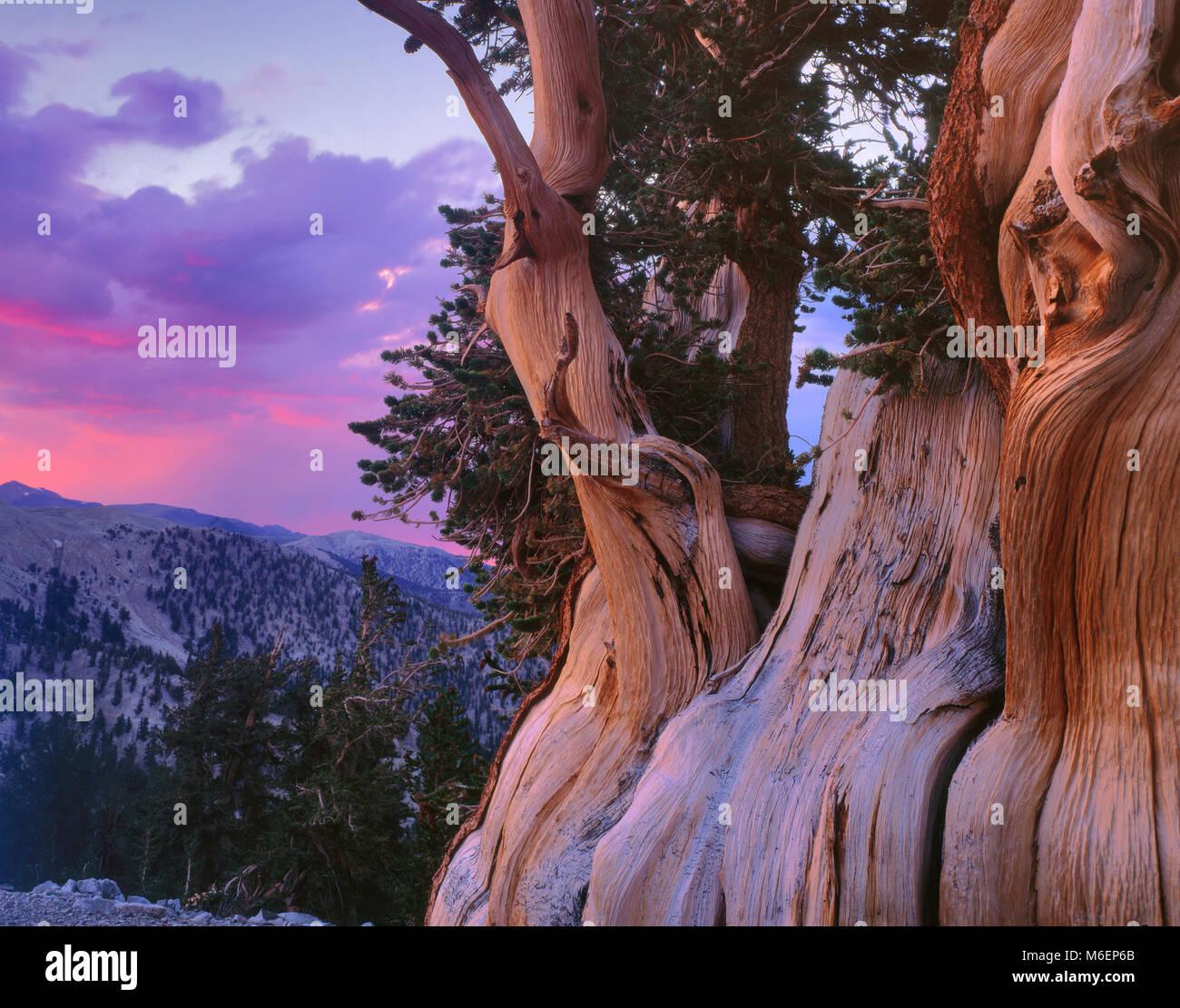 Le coucher du soleil, Bristlecone Pine, Pinus longaeva, Montagnes Blanches, Inyo National Forest, l'Est de la Photo Stock