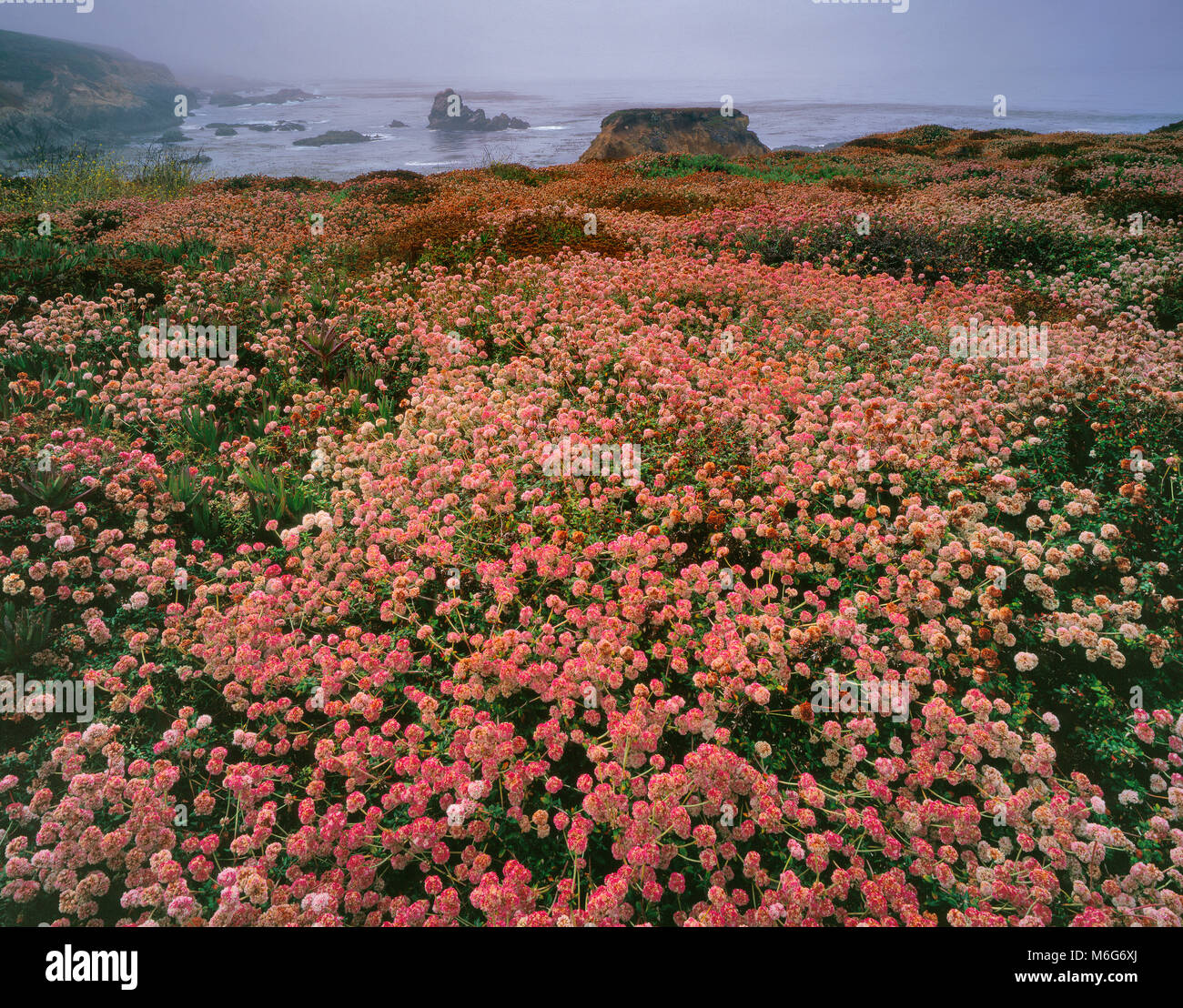 Le sarrasin, l'Eriogonum, brouillard côtier, Garrapata State Park, Big Sur, Monterey County, Californie Photo Stock