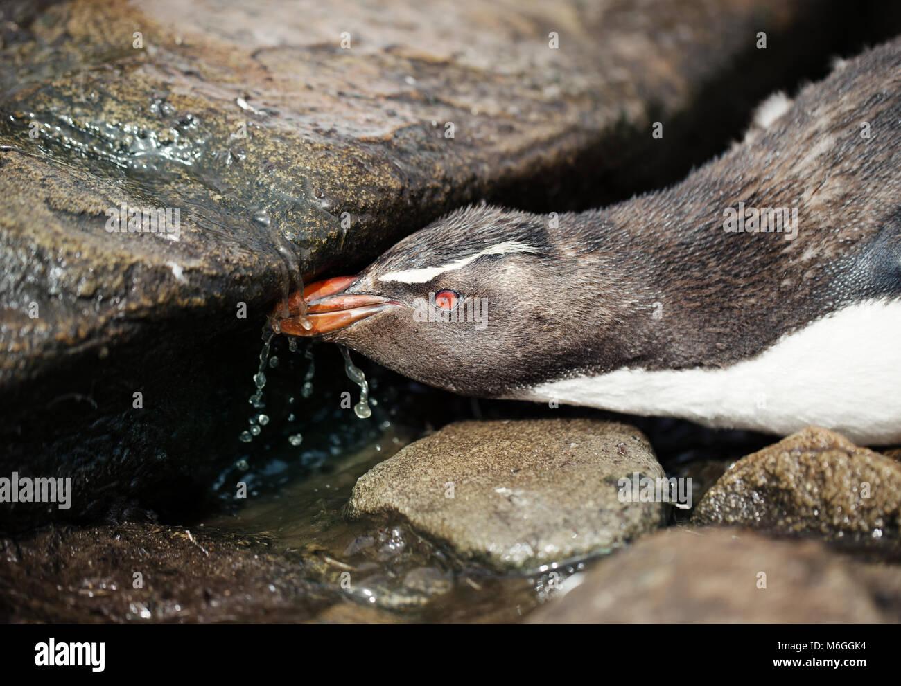 Close up of a southern Rockhopper Penguin l'eau potable à partir d'un flux, îles Falkland. Photo Stock