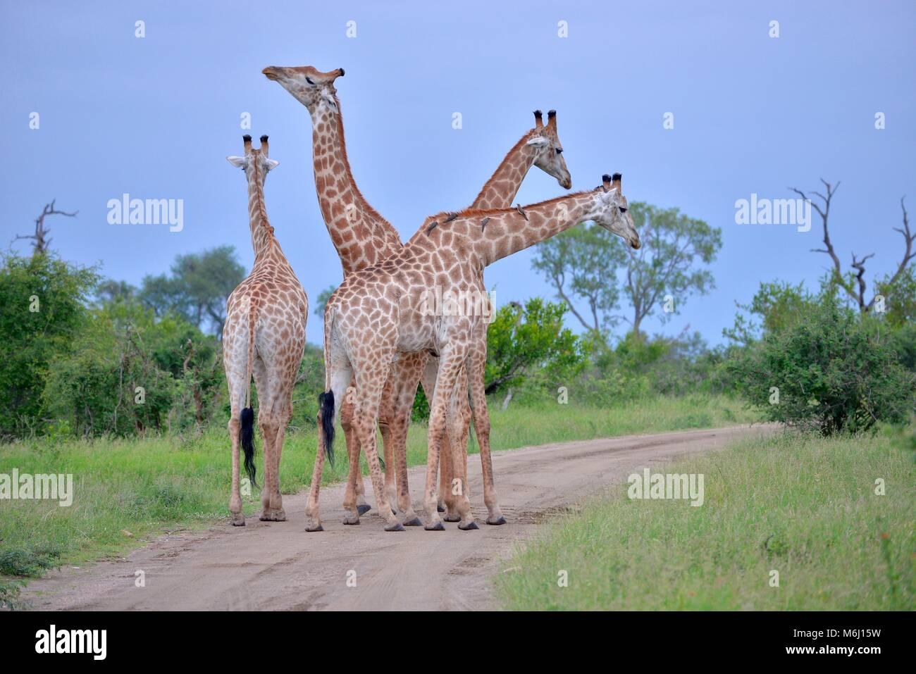 Kruger Park, Afrique du Sud. Un paradis de la faune et des oiseaux. Girafe longue Photo Stock