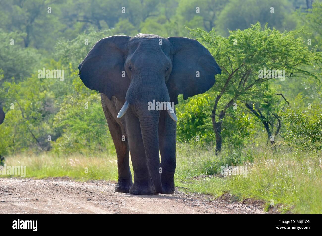 Kruger Park, Afrique du Sud. Un paradis de la faune et des oiseaux. African elephant bull en mode agressif muth Photo Stock
