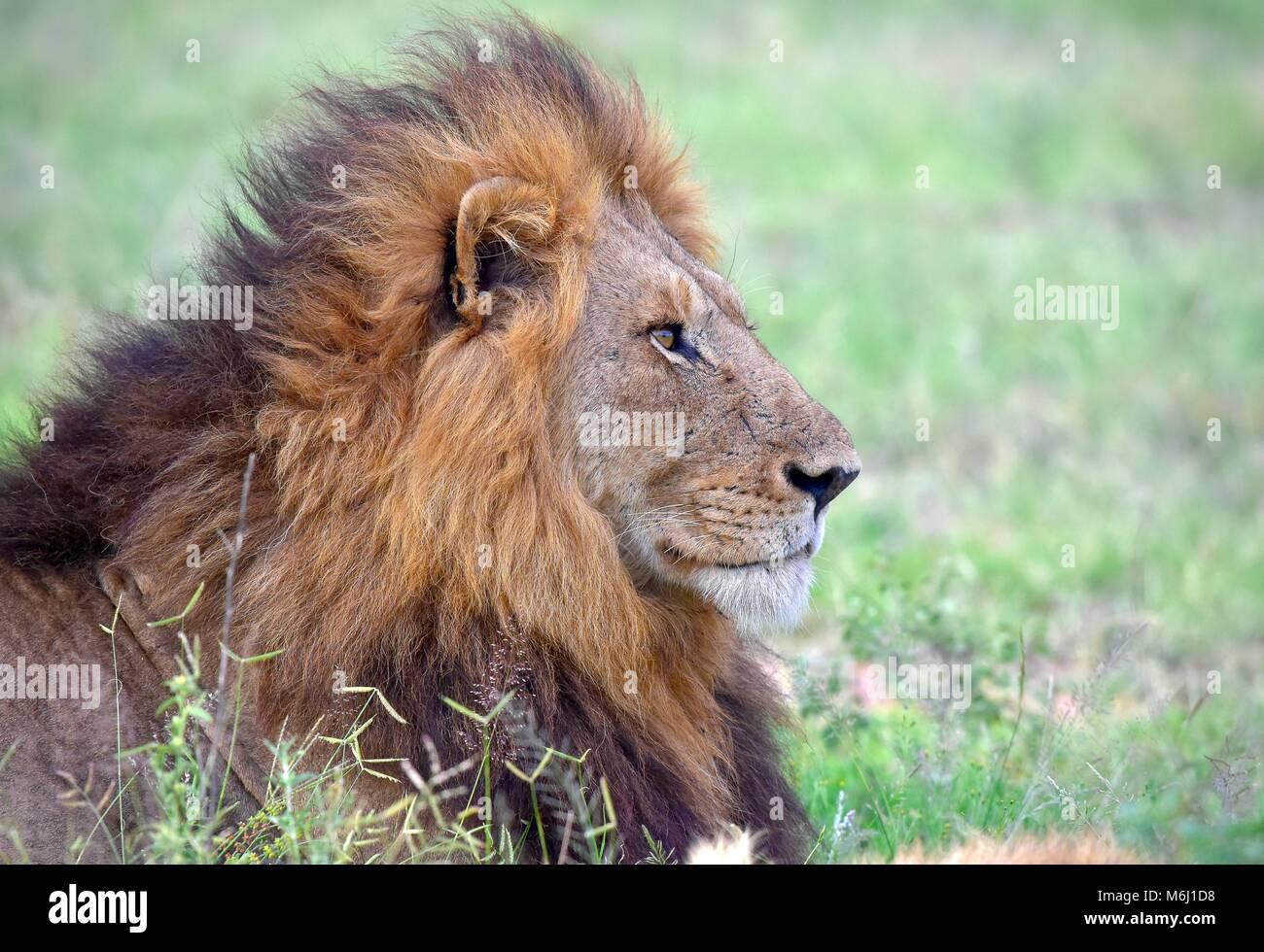 Kruger Park, Afrique du Sud. Un paradis de la faune et des oiseaux. La crinière d'un lion magnifique portrait Photo Stock