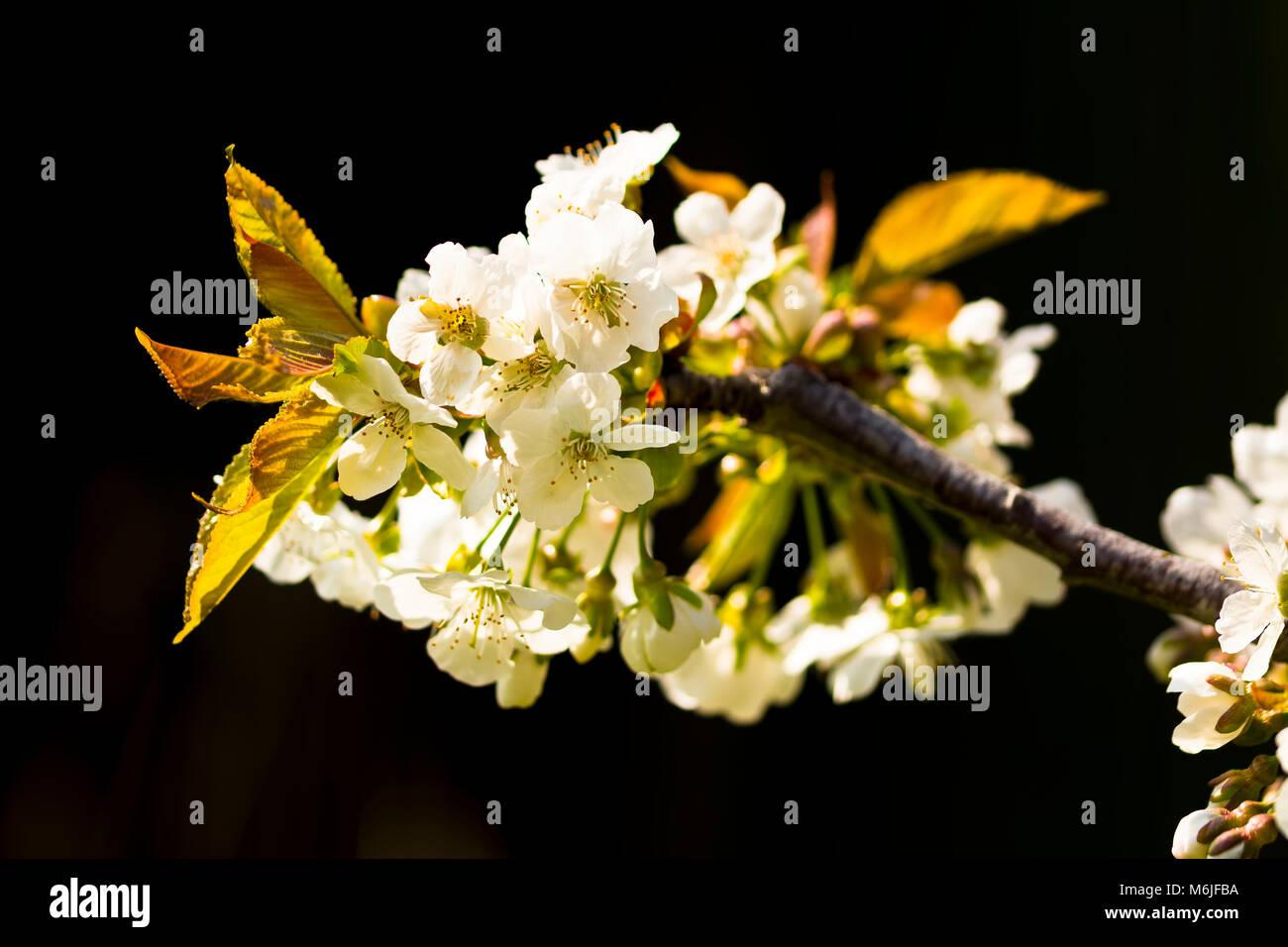 Un Clustern De Fleur De Cerisier Blanc Sur Un Fond Noir Une Anainst