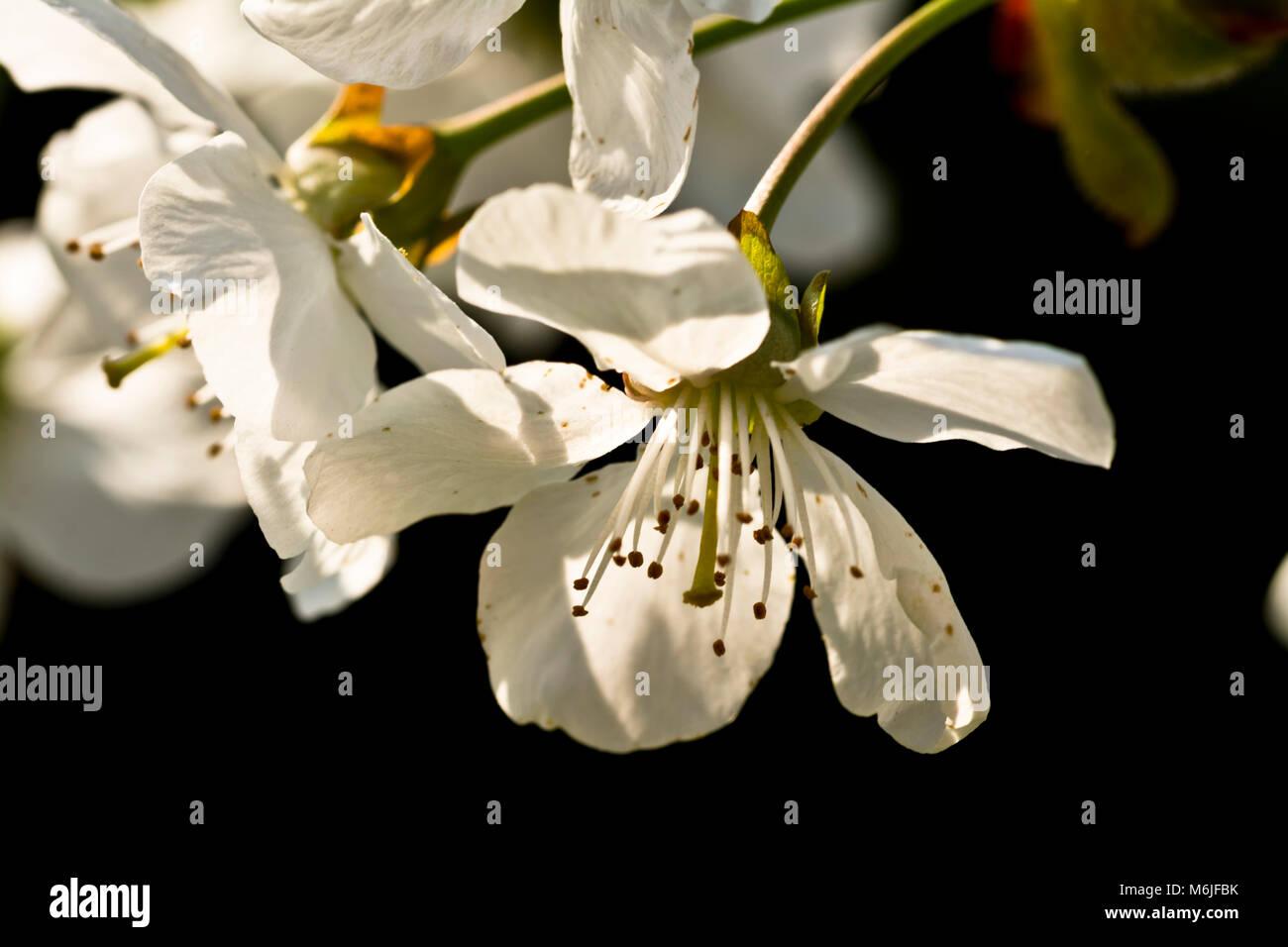 Une Fleur De Cerisier Blanc Contre Un Fond Noir Fonc Banque D