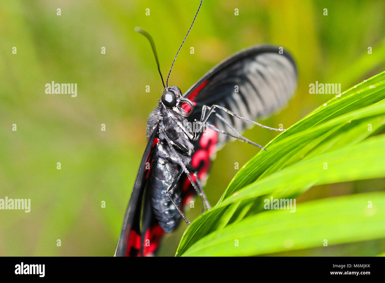 Big Red et black papillon sur feuille verte, Pachliopta kotzebuea Banque D'Images