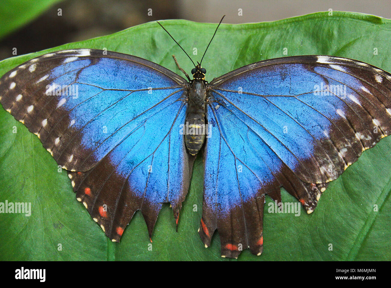 Big Blue papillon sur feuille verte, morpho peleides Banque D'Images