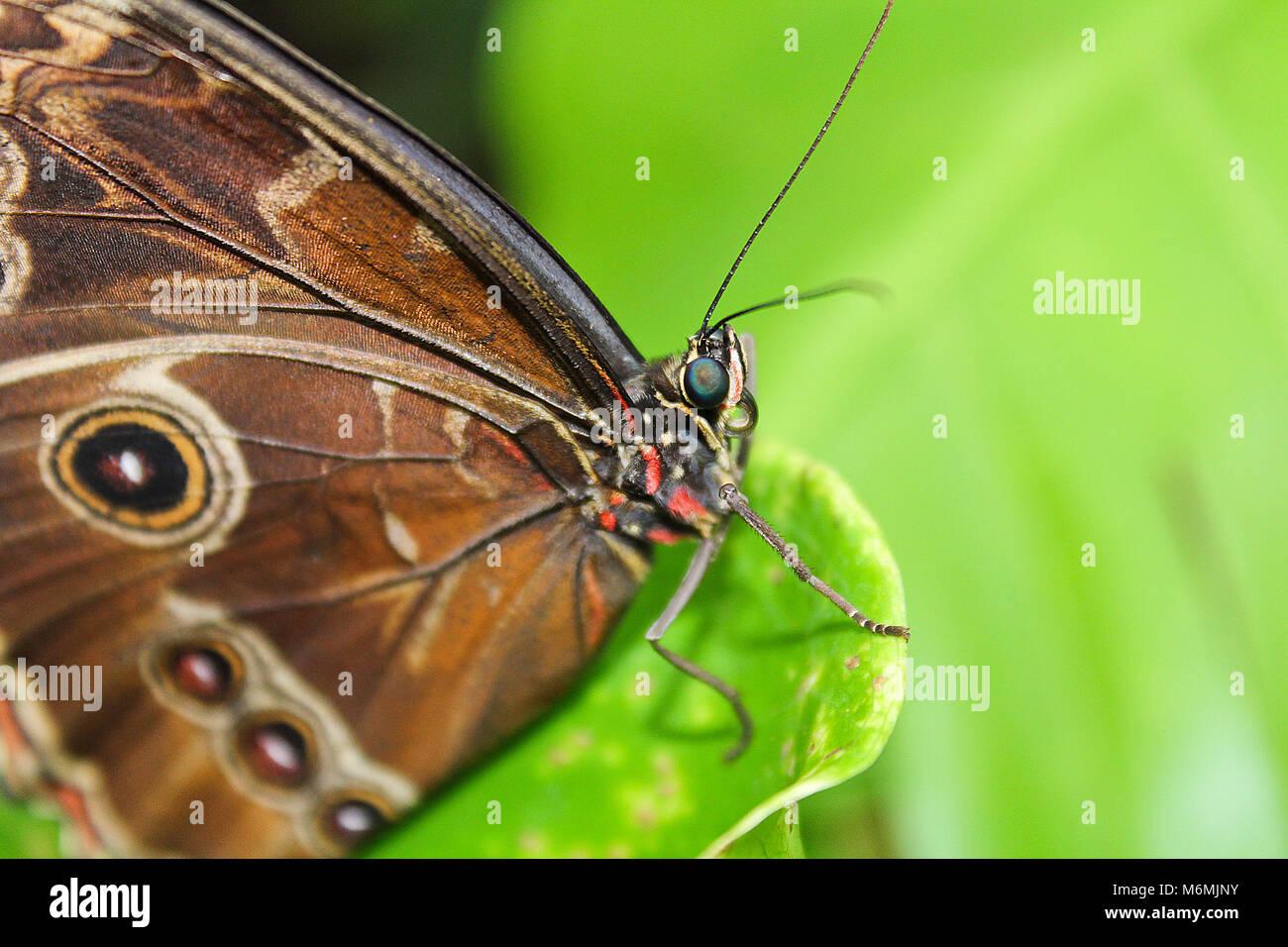 Big brown butterfly sur le bord d'leaef vert Banque D'Images