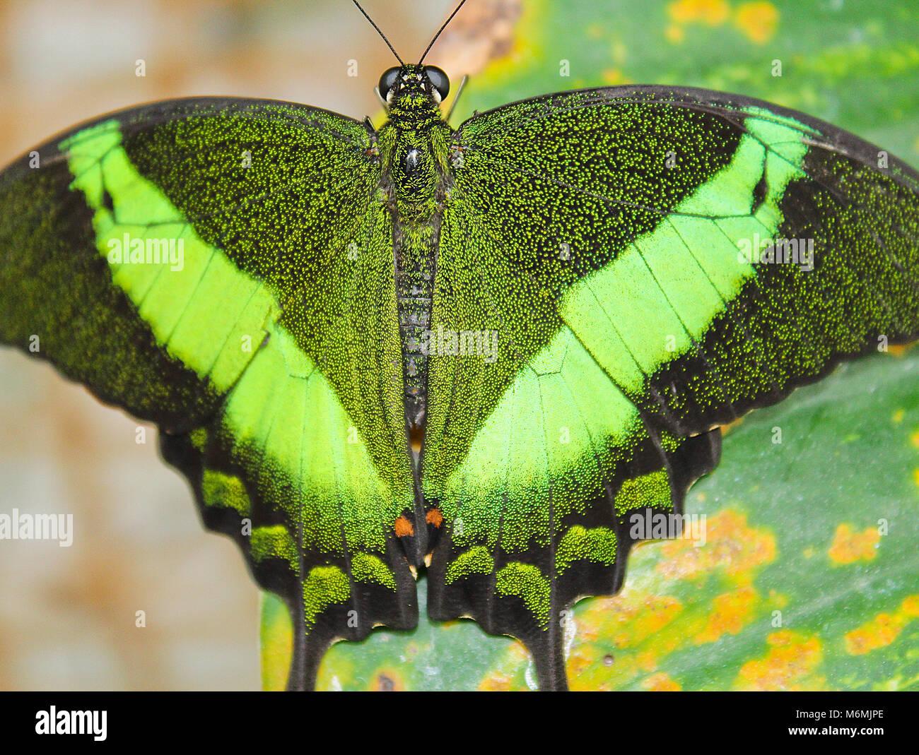 Papillon machaon émeraude verte, la photo en gros plan sur les extensions, Papilio palinurus Banque D'Images