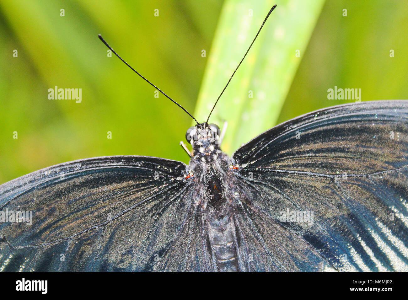 Grand papillon noir et blanc sur feuille verte, la photo en gros Banque D'Images
