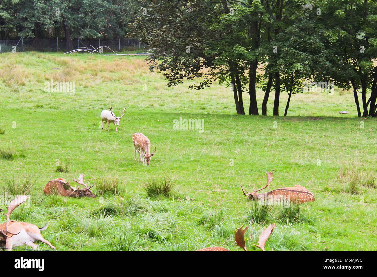 Daims sur prairie avec arbres, paysage tchèque Banque D'Images