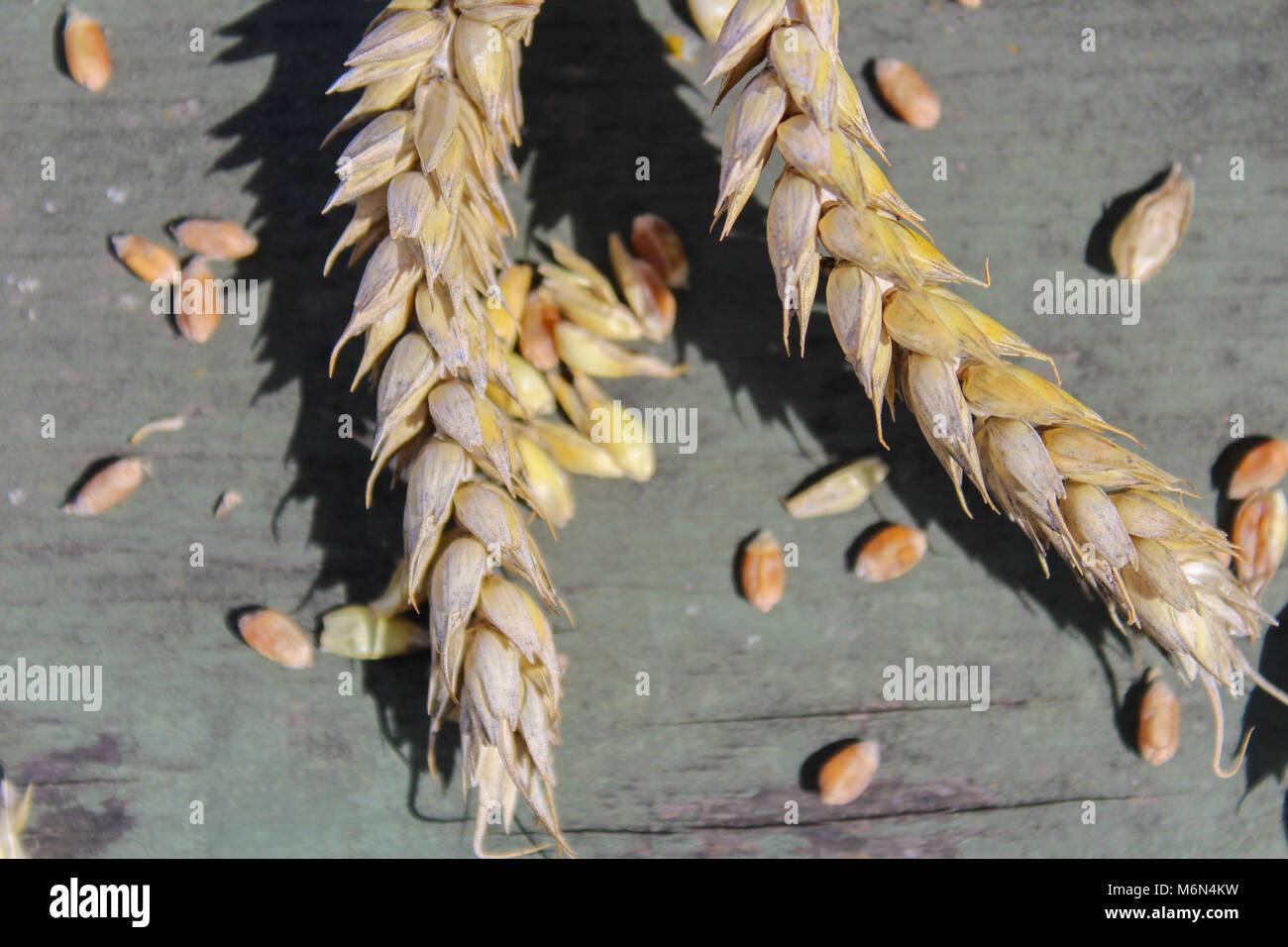 Sur blé rustique, fond vert macro photo Banque D'Images