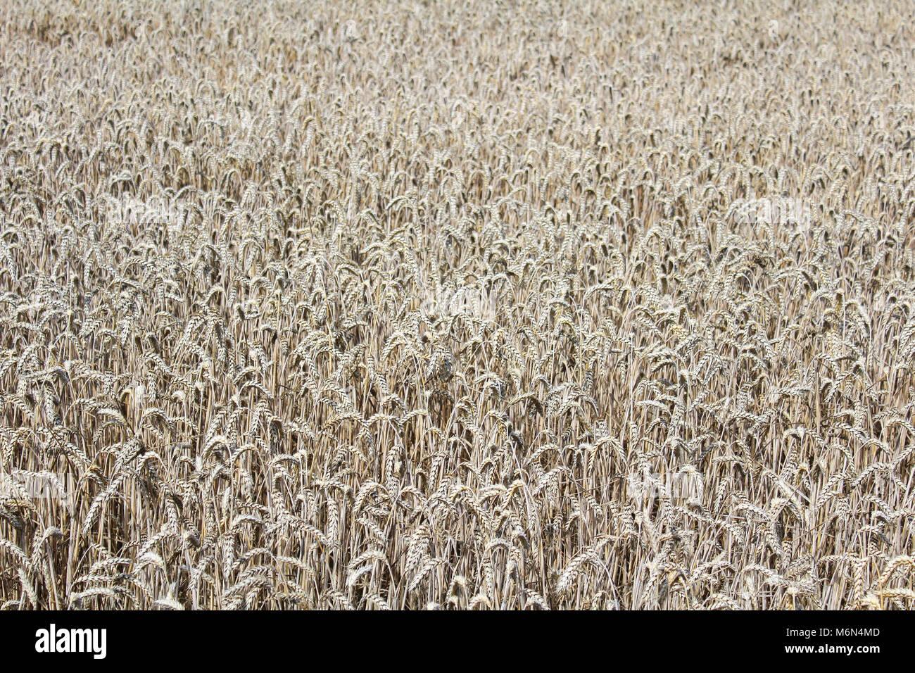 Champ de blé dans la texture des couleurs ocre, de l'agriculture Banque D'Images