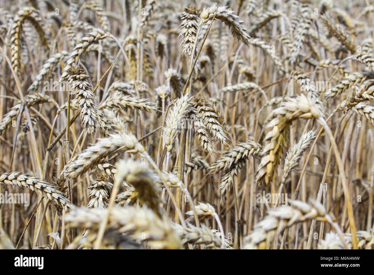 Champ de blé près jusqu'à l'oreille de maïs phto Banque D'Images