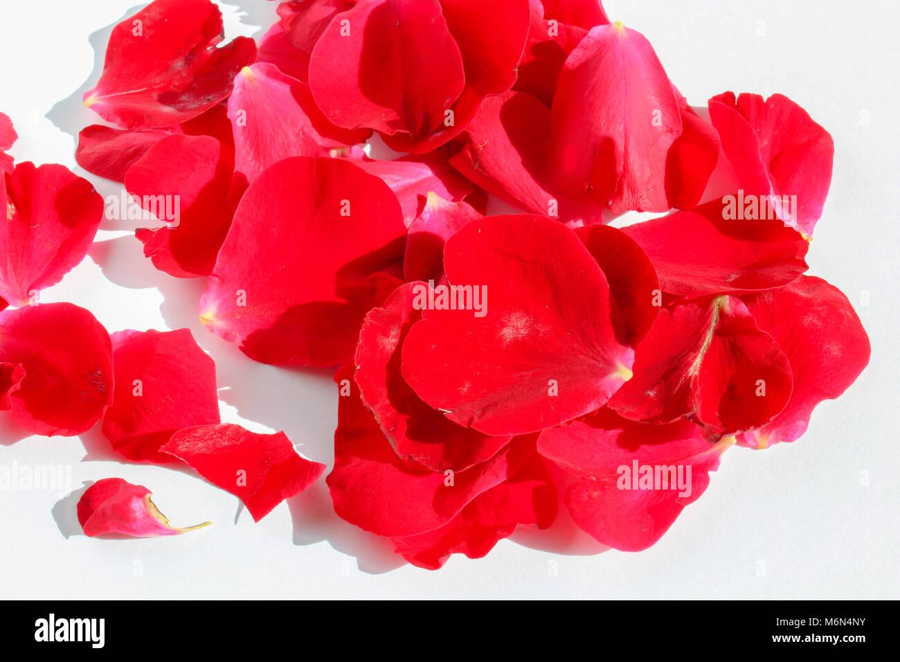 Groupe des pétales de fleurs rouges sur fond blanc Banque D'Images