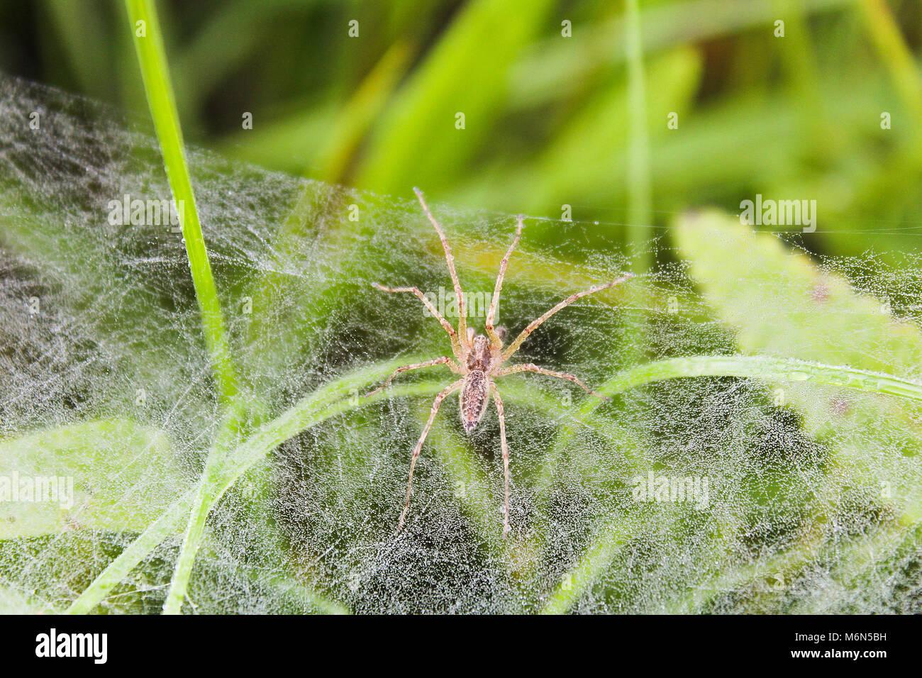 Petite araignée sur le bord de cobweb in grass Banque D'Images