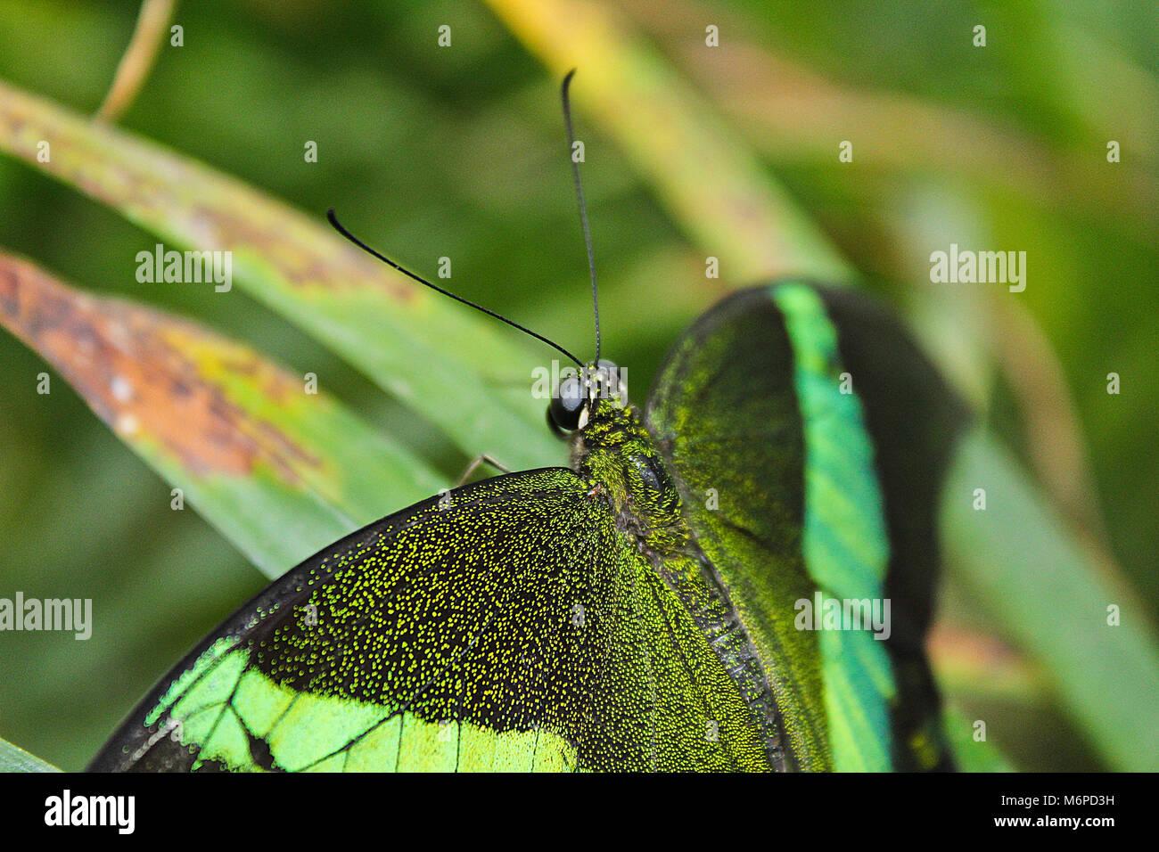 Papillon machaon émeraude Big Green close up, Papilio palinurus Banque D'Images