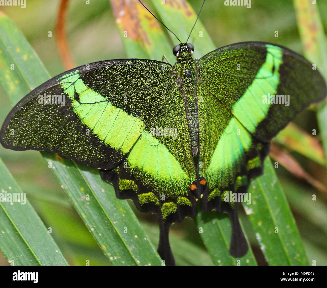 Papillon machaon émeraude verte, photo à ailes, Papilio palinurus Banque D'Images