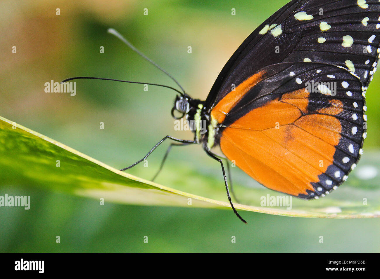 Big orange papillon sur feuille, danaus chrysippe Banque D'Images