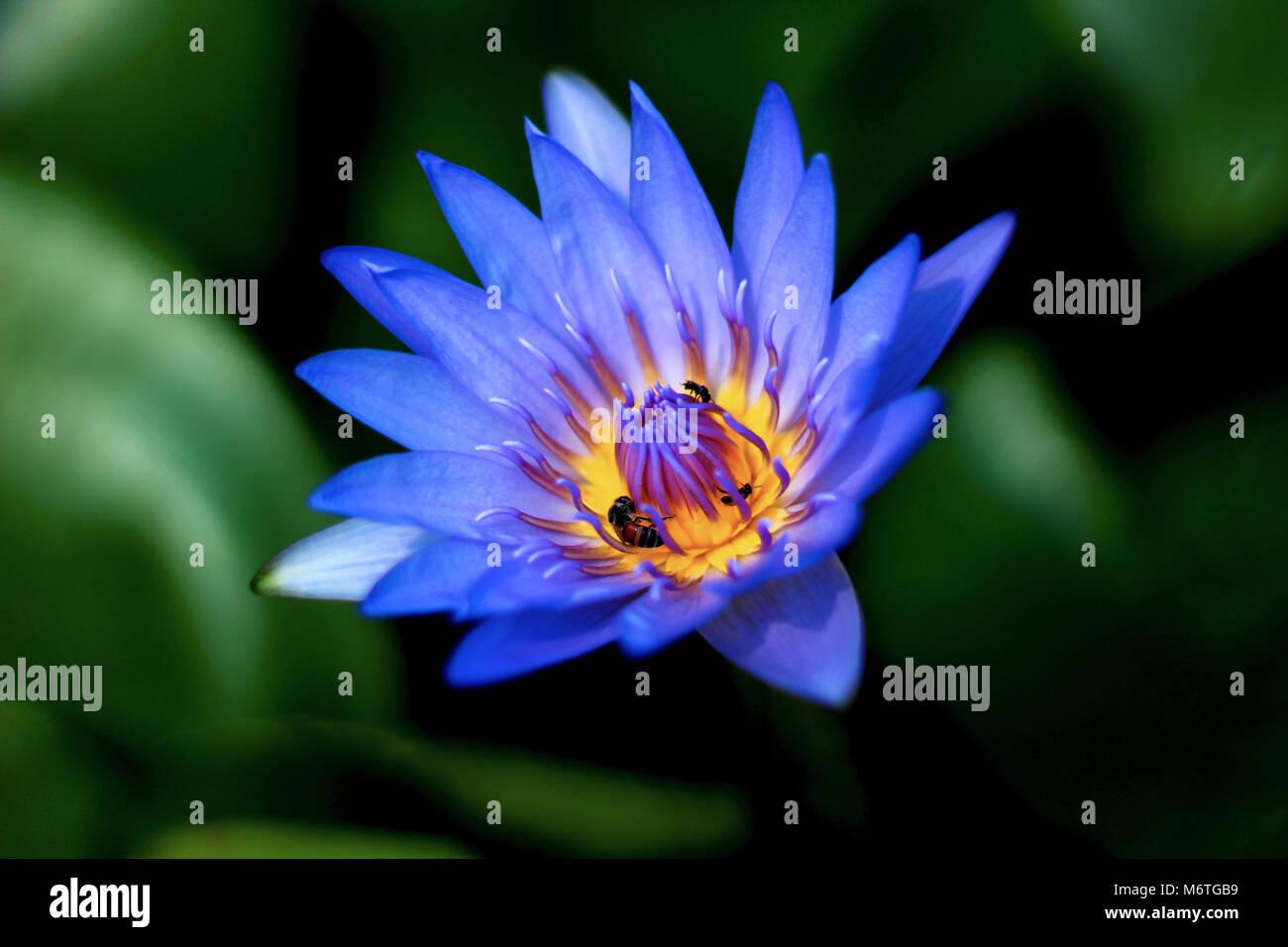 Fleur de Lotus Bleu Banque D\u0027Images, Photo Stock 176331325