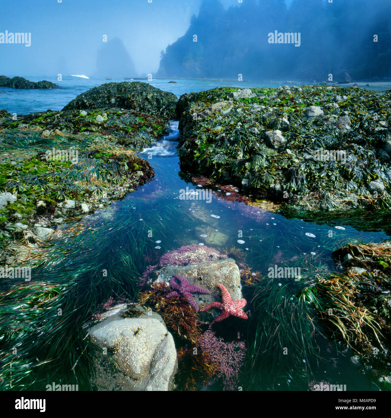 Tidepool, étoiles de mer, plage Ozette, Olympic National Park, Washington Photo Stock