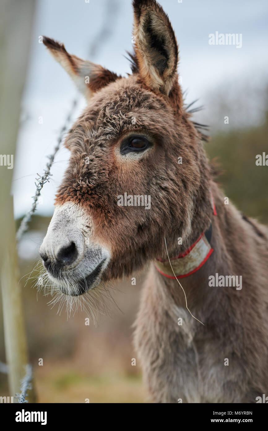 Seul un âne regarde passé une clôture en fil barbelé, avec un rude mais jolie manteau et portant Photo Stock