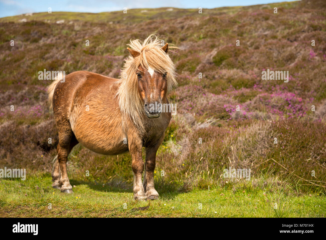 Poney Shetland South Uist Hébrides extérieures en Écosse Photo Stock