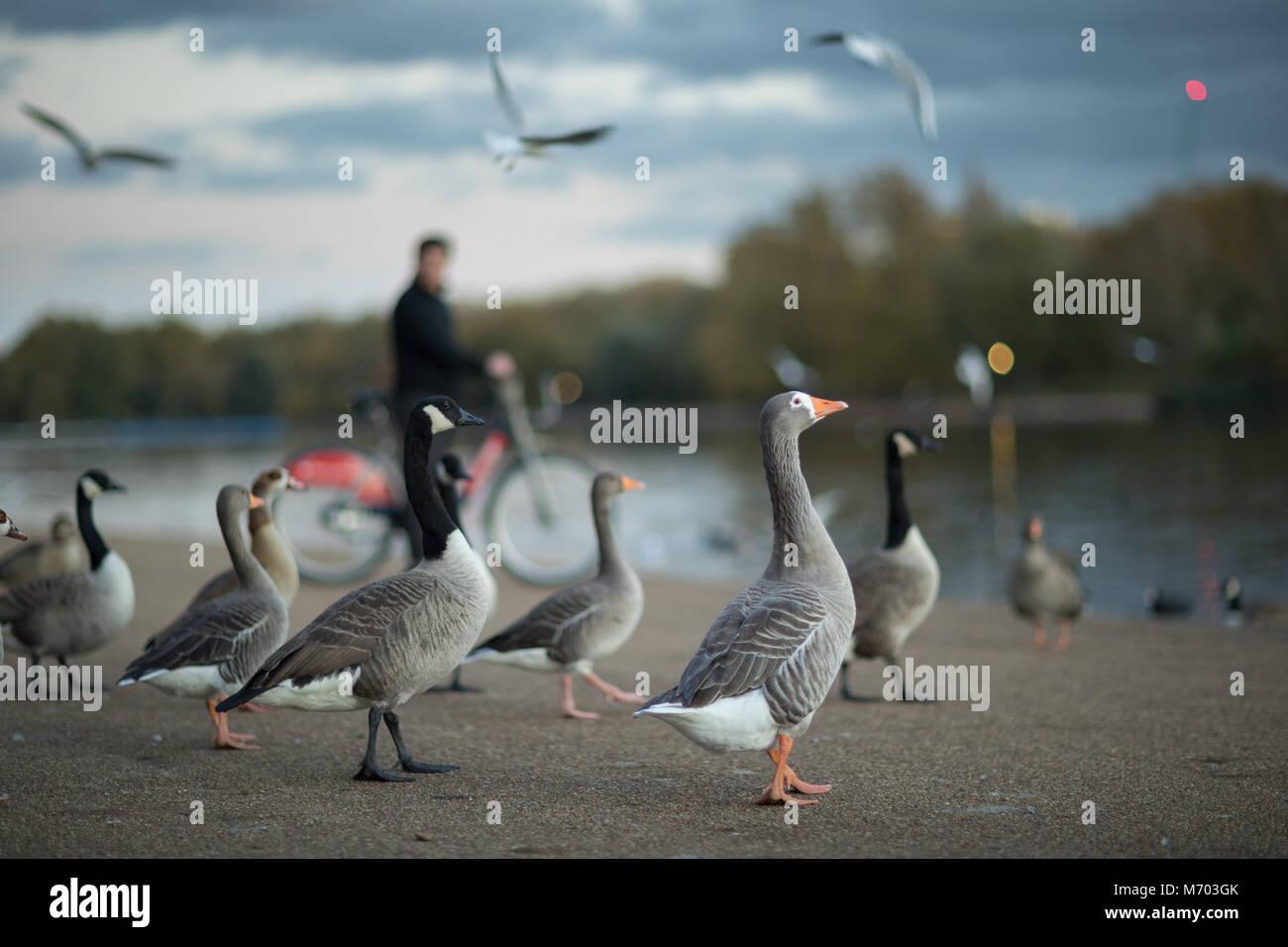 Les heures de pointe; oies rieuses dans Hyde Park au crépuscule, London, England, UK Photo Stock