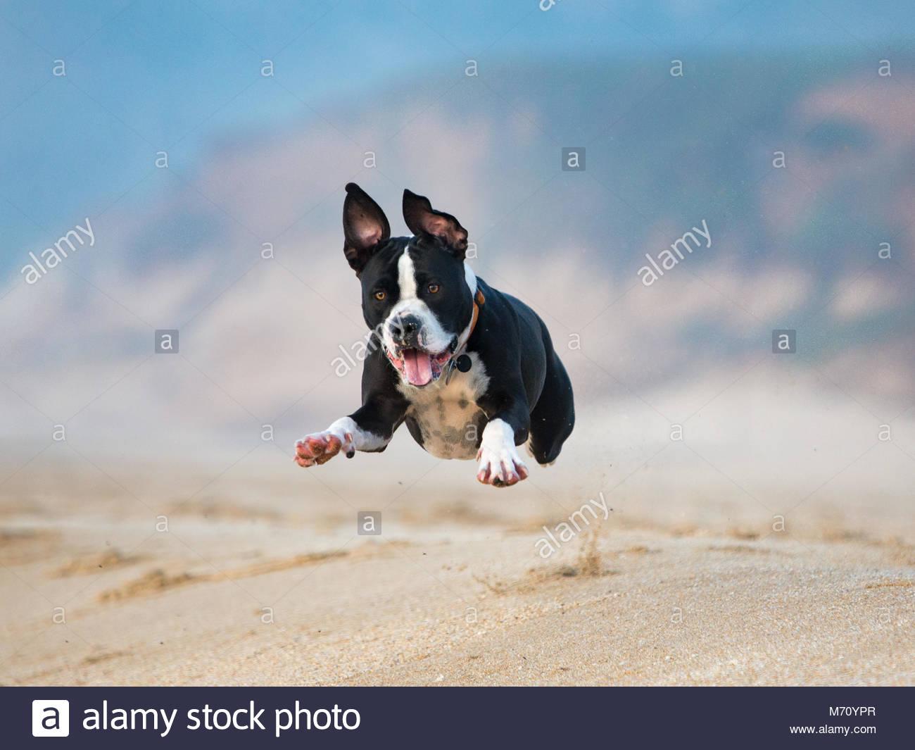 Chien Volant heureux piège noir et blanc chien volant par l'air sur une plage
