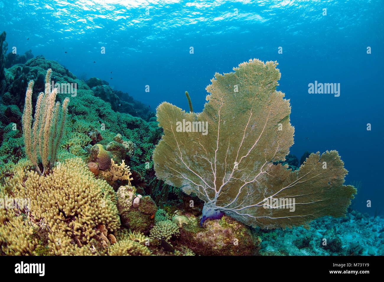 Les récifs coralliens des Caraïbes en bonne santé avec un géant seafan (Gorgonia ventalina), Curaçao, Antilles néerlandaises, Caraïbes, mer des Caraïbes Banque D'Images