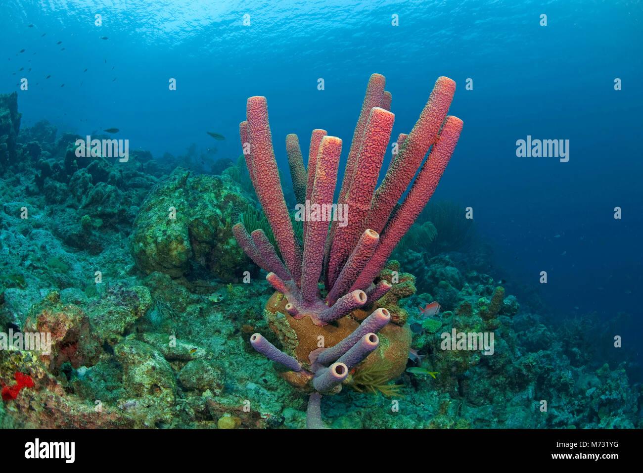 Cuisinière-éponge Aplysina archeri (tuyau) dans un récif de corail des caraïbes, Curacao, Antilles, Caraïbes, mer des Caraïbes Banque D'Images