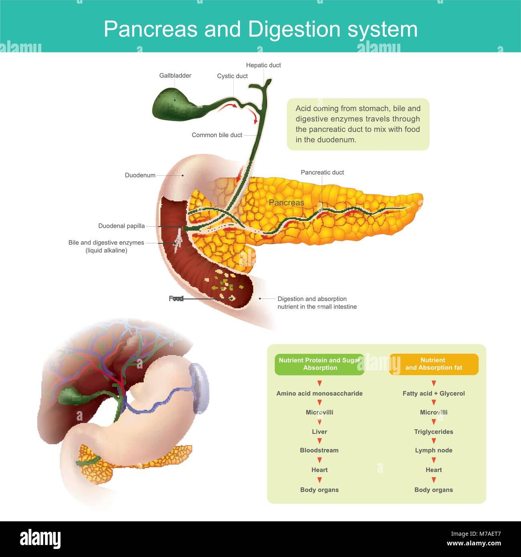 Les enzymes digestives se déplace dans le conduit pancréatique de la mélanger avec de la nourriture Photo Stock