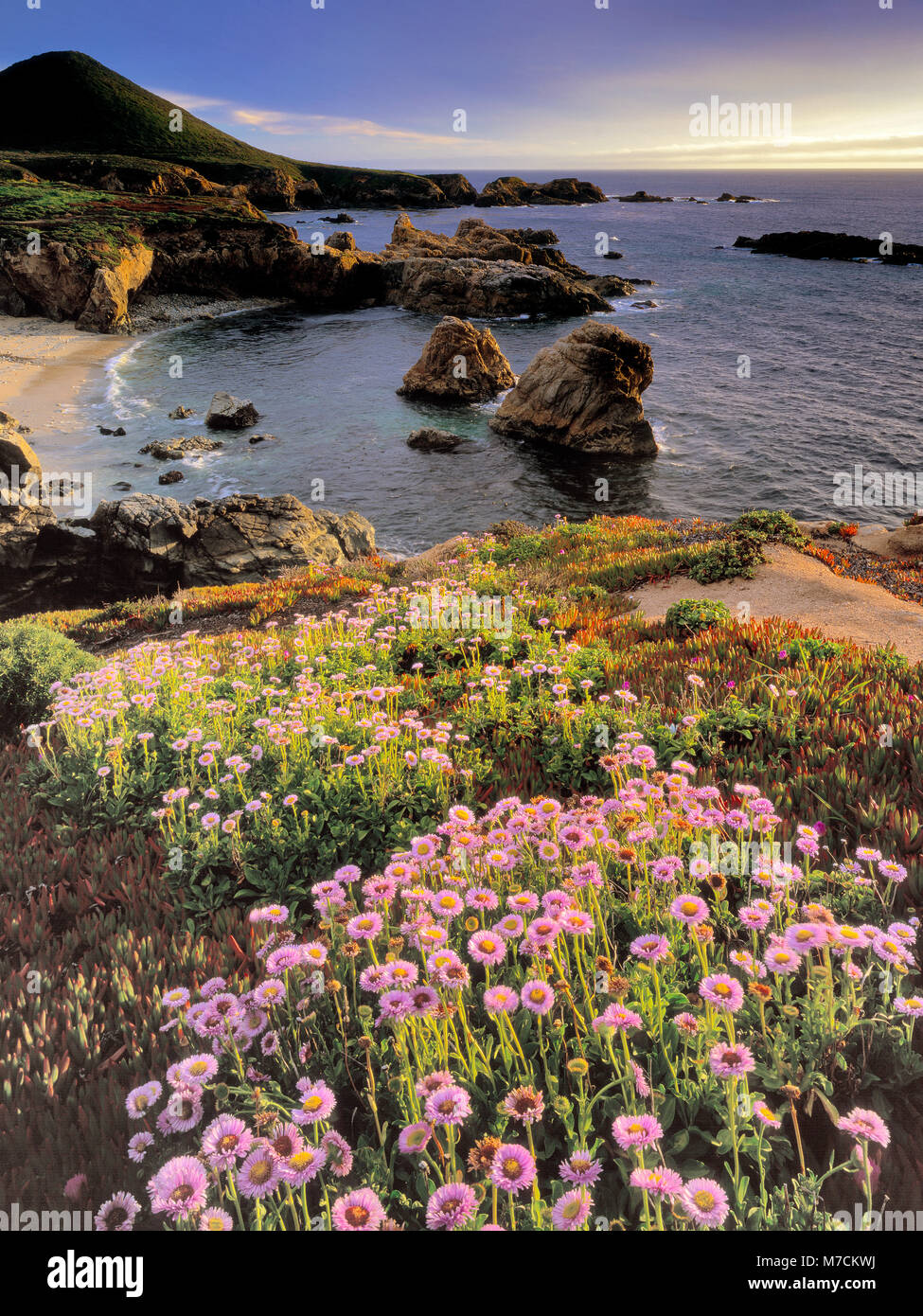Marguerites de mer, Erigeron glaucus, Garrapata State Park, Big Sur, Monterey County, Californie Photo Stock