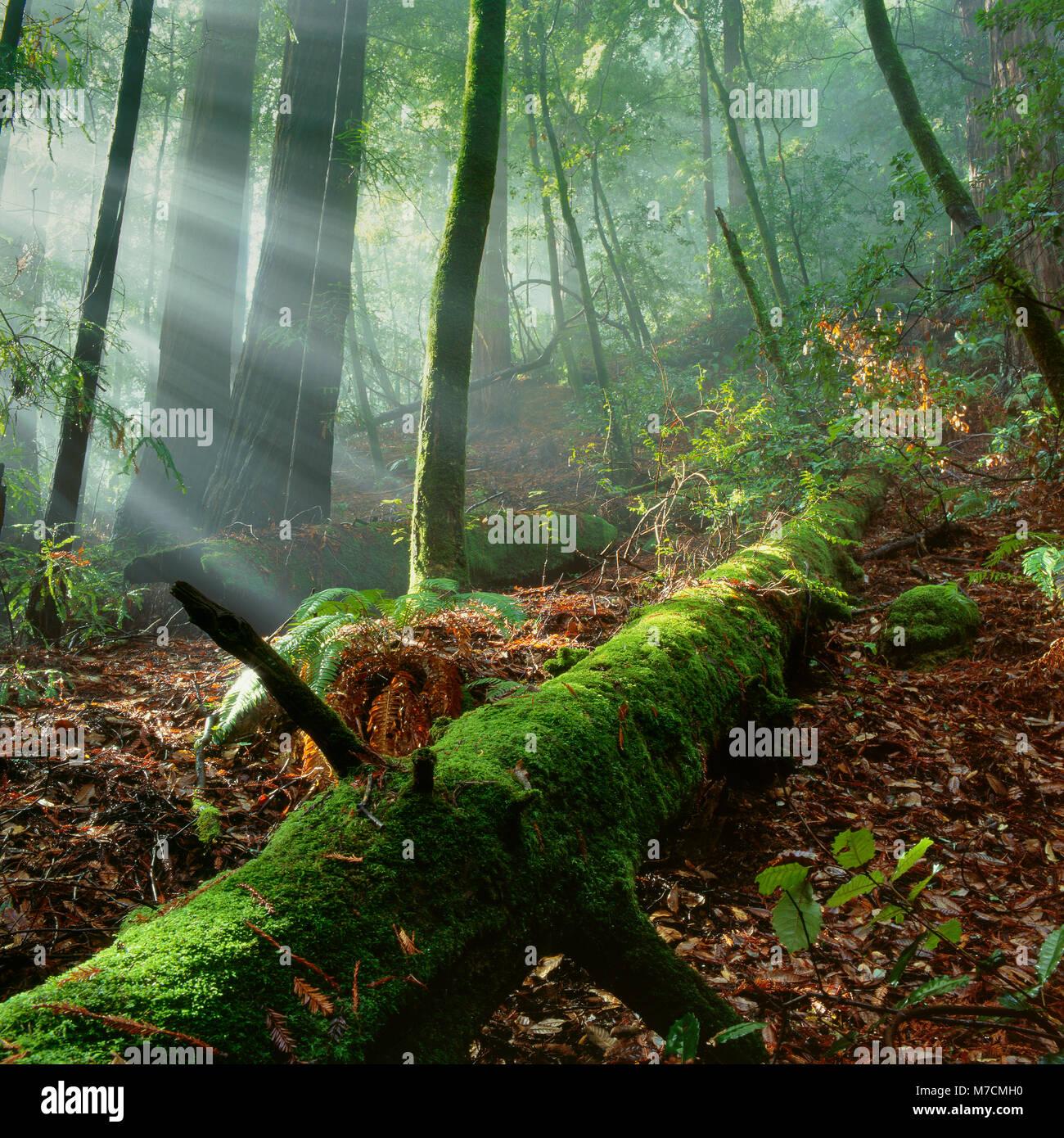 Brouillard de levage, Muir Woods National Monument, le comté de Marin, en Californie Photo Stock