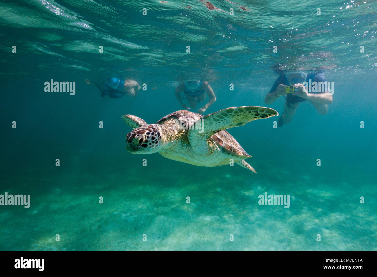 Les plongeurs en regardant Tortue verte, Chelonia mydas, Akumal, Tulum, Mexique Photo Stock