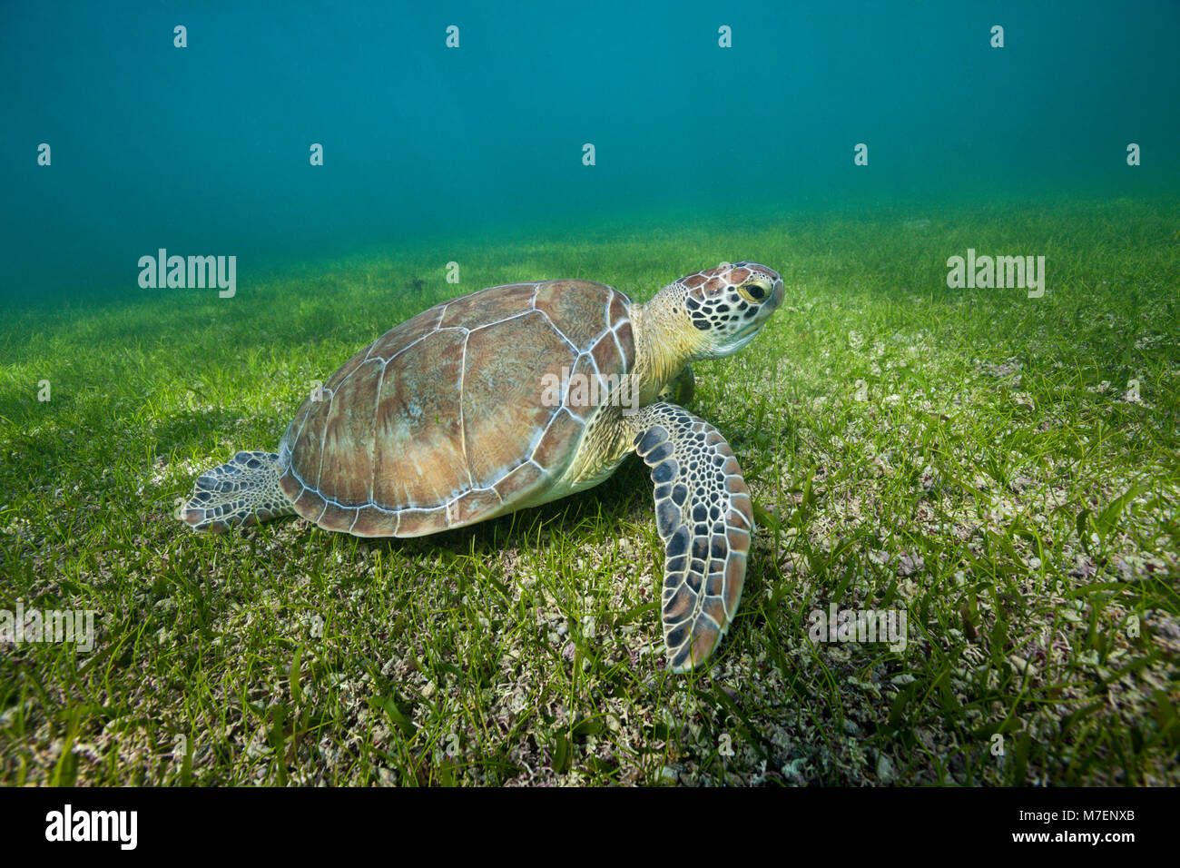 Tortue verte, Chelonia mydas, Akumal, Tulum, Mexique Photo Stock